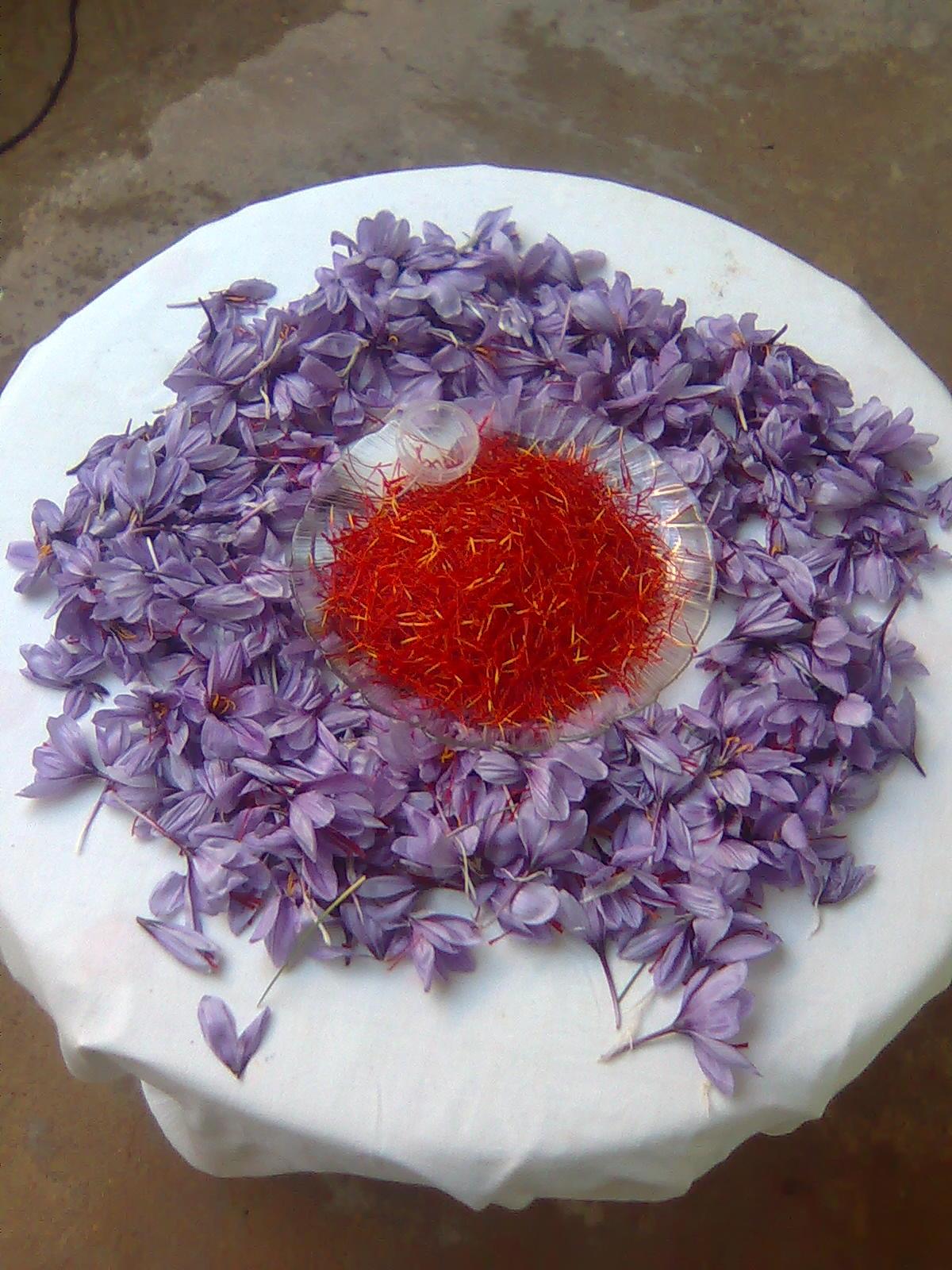 Safran en fleur et en pistils